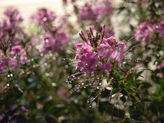 Day 253:  wet flowers (Mark.Swanson) Tags: cleome