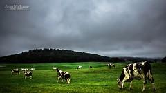 Bon apptit les filles ! ;) (Jean McLane) Tags: darksky rainy cloudy clouds nuages nubes cows vaches vacas landscape paysage paisaje green jura france