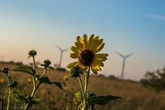 West Texas Morning (18 of 40) (mharbour11) Tags: wildcats elk purple sunrise westtexas texas sky windturbines windmill sun silhouettefire silhouette