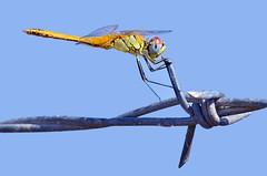 Arm wrestle - Brao de ferro (Yako36) Tags: portugal vilafrancadexira pontaderva dragonfly liblula nature natureza nikonafs300f4 nikond7000