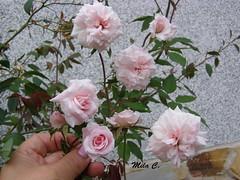 En todas sus formas...!!! (Camelia-5) Tags: rosas minis ramo ramillete pitimini