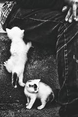 kratzbrsten an jungenherz. (sommerpfuetze) Tags: cat cats bw boy childhood black white mono people animal 2 couple katzenkinder katze haustiere junge hand freundschaft kindheit luca schwarzweis babies tierkinder 16 littledoglaughednoiret