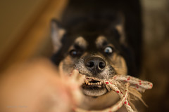 Tug-of-War (jeanmarie (been working lots of overtime)) Tags: pov jeanmarieshelton jeanmarie dof bokeh dog mutt husky shepard game play pet teeth nose nikon nikond810