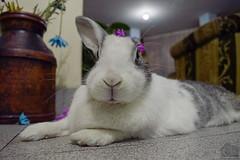Lala RIP 20/09/16 (Tato Avila) Tags: lala conejo rabbit 200916 bigotes ojosazules ojos