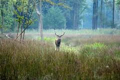 Edelhert, Weerterbos (ToJoLa) Tags: canon canoneos60d 2016 edelhert weerterbos natuur nature natuurgebied naturetrail najaar landscape herfst autumn deer