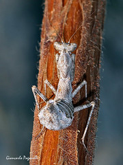 Ameles spallanzania (giancarlo.paganelli47) Tags: ameles spallanzania macro mantide nana european dwarf mantis mantidae insects
