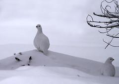 Lagópodo escandinavo / Willow Ptarmigan / Lagopus Lagopus (vic_206) Tags: white snow bird blanco finland nieve lapland pajaro finlandia lagopuslagopus ivalo canon300f4lis canoneos7d scandinavianwillowptarmigan