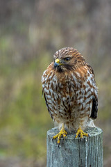 Red-Shouldered Hawk (AnotherSaru - Off and on for a few weeks) Tags: california bird nikon bokeh redshoulderedhawk buteo d600 lineatus tamron70300mmlens