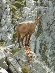 P1050147 (Knut Skarsem) Tags: alps animal mammal schweiz switzerland suisse wildlife alpen helvetica svizzera bovidae mammalia sveits swissalps ibex steinbock capra bouquetin churfirsten ruminant svizra stambecco alpensteinbock artiodactyla alpene capraibex alpineibex kozorog steinbukk bouquetindesalpes appenzellalps appenzelleralpen gocht gemeinersteinbock stambeccodellealpi alpskikozorog