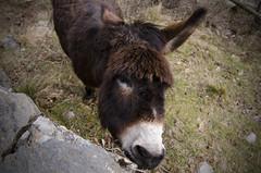 L'asinello dell'Alpeggio San Rossore (Luca Rodriguez) Tags: mountain donkey montagna animale apuane alpiapuane asino lucarodriguez