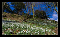 Snowdrops, Newark Park (NT) (Travels with a dog and a Camera :)) Tags: park wood uk flowers trees england art digital photoshop woodland dc pentax unitedkingdom nt sigma cotswolds gloucestershire national trust snowdrops newark hillside 1020mm nationaltrust febuary 43 k5 lightroom cs6 2013 1456 wottonunderedge ozleworth newarkpark justpentax sigma1020mm1456dc pentaxart pentaxk5 photoshopcs6 lightroom43