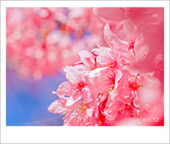 () Tags: park travel pink flowers trees light sky white plant flower macro tree green castle nature garden cherry temple 50mm spring blossom bokeh farm blossoms taiwan olympus  cherryblossom sakura cherryblossoms   zuiko cherrytree e30 cherrytrees      cherryblossomfestival    wuling wulingfarm