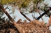 We have Two Babies This Year! (Amy Hudechek Photography) Tags: nikon texas nest eagle baldeagle chick raptor d300 happyphotographer amyhudechek
