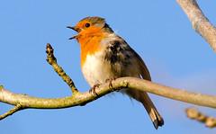 Robin (Dec Roche) Tags: ireland nature robin birds wildlife wexford birdsinging nikon300mmf4