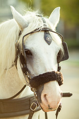 White Knight (Fesapo) Tags: horse ontario canada animal canon prime dof bokeh 7d whiteknight niagaraonthelake gallant 135mmf2l