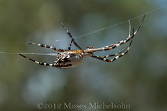 Argiope florida - Leon County, Florida, United States of America (Pecos Valley Diamond) Tags: spider florida native arachnid argiope orbweavers araneidae argiopeflorida floridaargiope