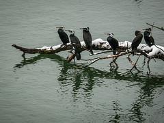 Cormorans (xwattez) Tags: winter snow france birds hiver neige toulouse garonne oiseaux cormorans 2013