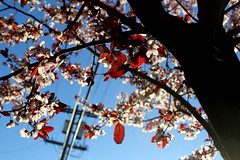 Spring (quinn.anya) Tags: morning pink trees sunrise berkeley spring plumblossoms