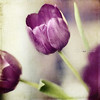 3TUliP (silviaON) Tags: flower tulip february textured 2013 memoriesbook bsactions visionqualitygroup visionquality100 memoriesbook5 oracope magicunicornverybest magicunicornmasterpiece kimklassentextures alledgesactions