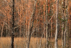 Late Afternoon at the Flatwoods 2 (Explored) (Lana Gramlich) Tags: winter light sunset lana nature grass forest catchycolors landscape woods louisiana gramlich abitasprings flatwoods tnc thenatureconservancy sttammanyparish fantasticnature abitacreekflatwoodspreserve dragondaggerphoto canoneosrebelt2i lanagramlich feb172013