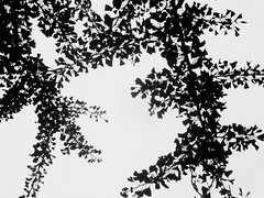 Leaves & Branches Silhouettes (shaire productions) Tags: blackandwhite bw nature monochrome leaves photo leaf image picture pic monotone photograph imagery