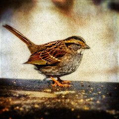 Fat Sparrow (Pixielated Pixels) Tags: park winter snow newyork birds photos centralpark manhattan wildlife snowstorm wallart avian chrislord pixielatedpixels