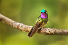 Magnificent colors (CMich5) Tags: travel bird birds fauna nikon costarica hummingbird wildlife monteverde hummingbirds centralamerica d600 purplethroatedmoutaingem