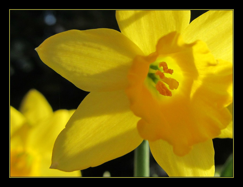 The Worlds Newest Photos Of Daffodil And Quote Flickr Hive Mind