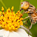 A Hungry Native Drone Fly [Eristalinus punctulatus]