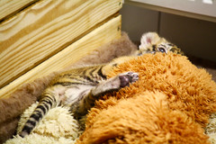 Bengal tiger baby II. (gambit03) Tags: city baby puppy zoo tiger bigcat bastion bengal tigris raab innenstadt bastei eared ohren gyor gyr knigstiger belvros zenter klyk groskatze bengli nagymacska flesbstya