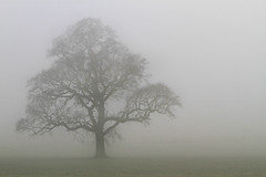 Cloaked (Pedrosky.) Tags: mist tree fog kent shrouded cloaked
