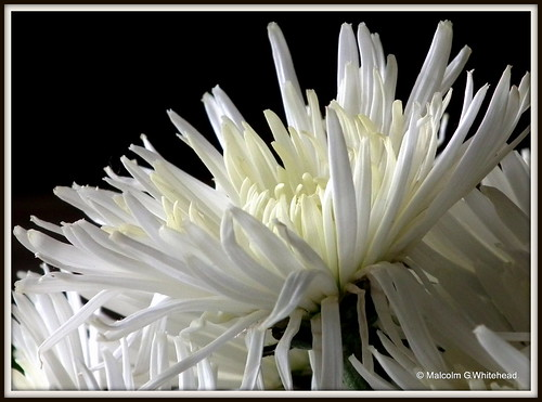 Chrysanthemum sp.
