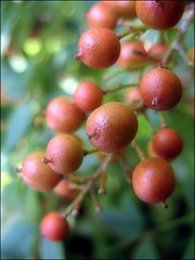 (Tölgyesi Kata) Tags: garden nandinadomestica heavenlybamboo sacredbamboo budaiarborétum japánszentfa égibambusz mennyeibambusz
