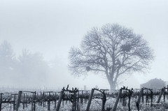 Westside Road Vineyard and Tree (stephencurtin) Tags: california trees blackandwhite tree fog grey march vineyard high wire oak key day shed system drip photograph mustard stakes healdsburg 2013 thechallengefactory thepinnaclehof stephencurtin tphofweek200