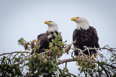 Male and Female Bald Eagles (lessnopsmorejmps) Tags: bird nikkortc17eii nikond7000 nikkor70200mmf28vrii