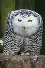 Look in my yellow eyes / Snowy Owl (burnett0305 - Thanks for over 175.000 views!) Tags: bird birds canon bayern deutschland bavaria ngc npc vgel vogel bubo snowyowl schneeeule nycteascandiaca strigiformes straubing eulen uhus buboscandiaca buboscandiacus ausrstung canonef100400mmf4556lisusm tiergartenstraubing canoneos5dmarkiii mygearandme mygearandmepremium mygearandmebronze mygearandmesilver mygearandmegold mygearandmeplatinum photographyforrecreationeliteclub rememberthatmomentlevel1 rememberthatmomentlevel2 rememberthatmomentlevel3 stadtstraubing vigilantphotographersunite vpu2 vpu3 vpu4 vpu5
