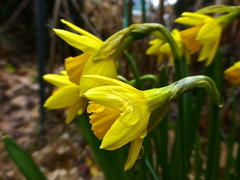 Daffodils . (Fijgje [ Everything works so slowly ]) Tags: flower bulb garden tuin bol daffodils bloemen narcis narcissus narcissen fijgje photographyforrecreation panasonicdmctz30 mrt2013 vigilantphotographersunite narcisttette