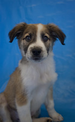 Rickon the 8 Week Old Chow/Shepherd Mix (Immature Animals) Tags: blue portrait rescue baby brown white cute animal puppy mutt mix general shepherd adorable ears center pima bark chow care heeler chowchow koalition pacc immatureanimals backpacc