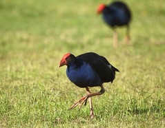 Purple Swamphen (Porphyrio porphyrio) (Kooragindi John) Tags: purpleswamphen porphyrioporphyrio australianbirds lithgow lakewallace australianwaterfowl