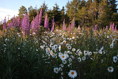 Wildflowers (jimmiebnslion) Tags: daisies lupins