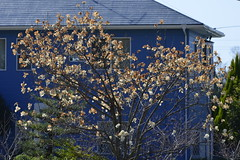 20130326-_DSC5533 (Fomal Haut) Tags: heron japan campus nikon  aichi toyotacity 80400mm d4    550mm 14teleconverter