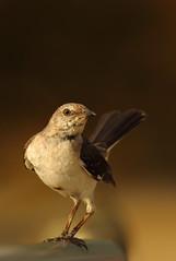 Northern Mockingbird (Daniel Trim) Tags: bird nature birds animals wildlife watching cuba birding northernmockingbird varadero cuban birdwatching mimuspolyglottos