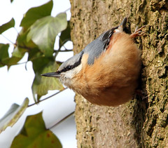 Ivy League Nuthatch (Ger Bosma) Tags: nuthatch sittaeuropaea ivyleague boomklever kleiber trepadorazul sittelletorchepot picchiomuratore mygearandme mygearandmepremium mygearandmebronze img79070filtered httpenwikipediaorgwikiivyleague