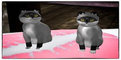 Twins Saltie (Terrariea) Tags: pet cats pets home animal animals shop cat pepper store kitten feline salt kitty twin kittens pebbles sl size secondlife kitteh breed darlings darling foxie cutecat kittys pedigree saltpepper saltandpepper kittycats kittycat cutekitten 2ndlife cattery catlab catfriends amazingcat catfamily catfriend vitural speciall virtualimage saltanpepper breedable virtualcat breedables kittycatssl kittycatsaddicts foxypepper terrariea kittycatsaddict primpet primanimal virturalimages virturalanimal vituralcat vituralcats virturalkitten vituralpet vituralpets vituralimage vituralimages vituralkitten vituralkitties vituralkitte breedablesl foxiesaltandpepper foxiesalty foxysaltandpeppermask virturalkittens