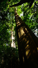 The tallest tree in Guinea Bissau (supersky77) Tags: africa wood forest guinea rainforest westafrica floresta bosco foresta tropicalforest guineabissau forestapluviale forestatropicale guinèbissau africaoccidentale cantanhez cantanheznationalpark jemberem canamine