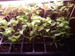 Basil-Tomatoes-Peppers - 4-2-13 (WillSeedForFood) Tags: starters