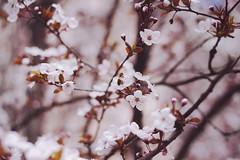 (maяtina) Tags: pink flowers white tree primavera nature leaves animal foglie insect spring soft dof little blossom bokeh branches rosa natura bee ape dreamy fiori piccolo delicate albero insetto rami delicato boccioli rusticano
