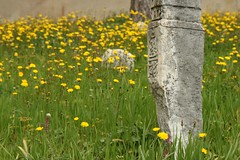 87/365 untitled (SarahLaBu) Tags: flowers graveyard yellow mostar bosnia muslim tombstone 365 day87 sooc day87365 3652013 2013yip 365the2013edition 28mar13