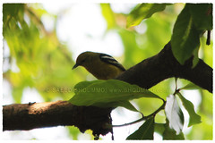 Common Iora/   (Shoummo ()) Tags: birds   commoniora  fotikjol bangladeshibirds saeedshoummo  shoummo     birdsofbangldesh wwwshoummocom