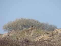 Winged Sentinel (mdavidford) Tags: bird coast sand dunes perch buzzard height vantagepoint burrows brauntonburrows